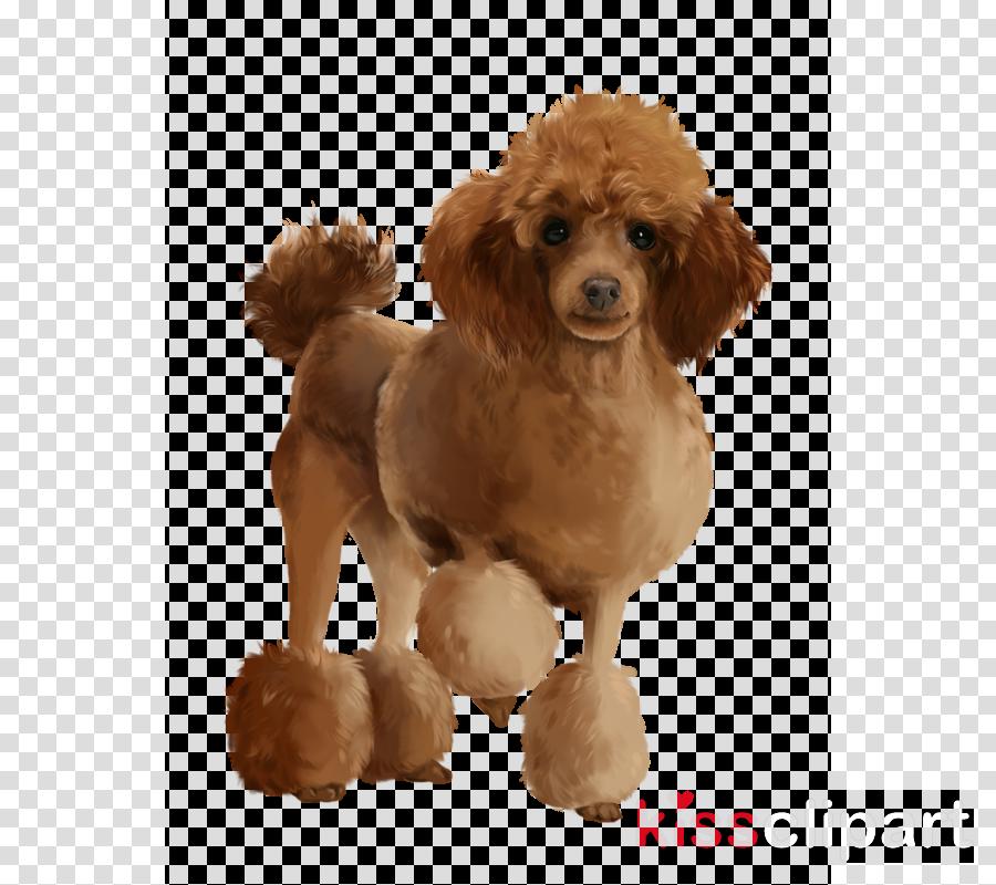 Miniature Poodle Standard Poodle Toy Poodle Puppy