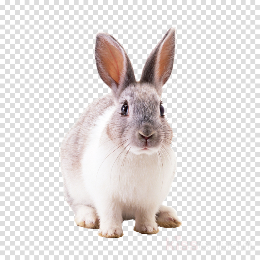 Hare Portable Network Graphics Domestic rabbit Transparency