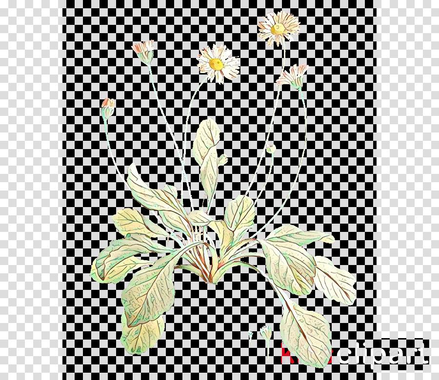 Common daisy Plants Botany Illustration Public domain