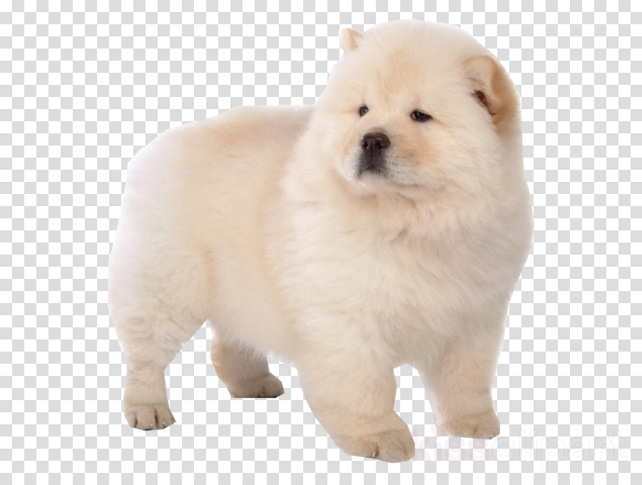 The chow chow Puppy Dog breed Siberian Husky