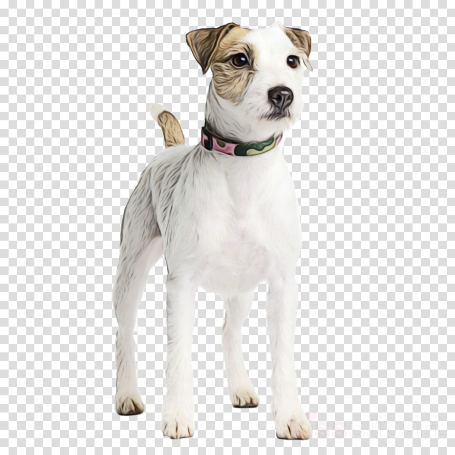 Jack Russell Terrier Parson Russell Terrier Airedale Terrier American Pit Bull Terrier