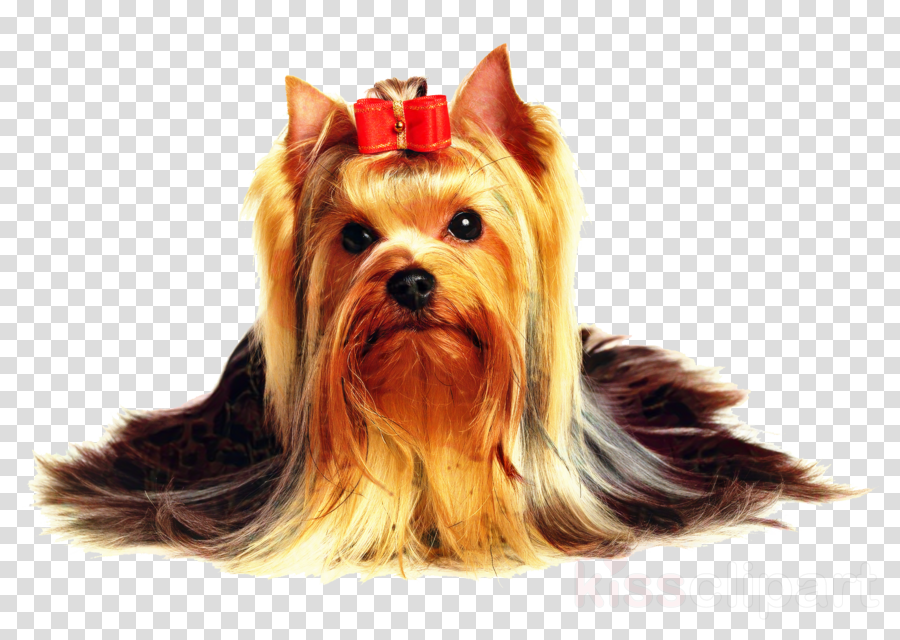 Yorkshire Terrier Poodle Puppy Dog grooming