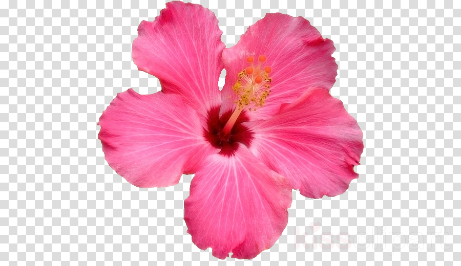 Shoeblackplant Pink flowers Clip art Common Hibiscus