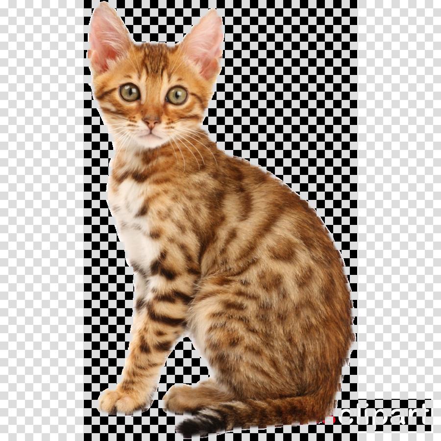 Bengal cat California spangled Persian cat Ragdoll Abyssinian cat