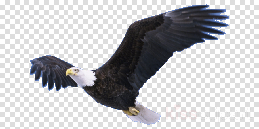 Bald eagle Portable Network Graphics Transparency Clip art