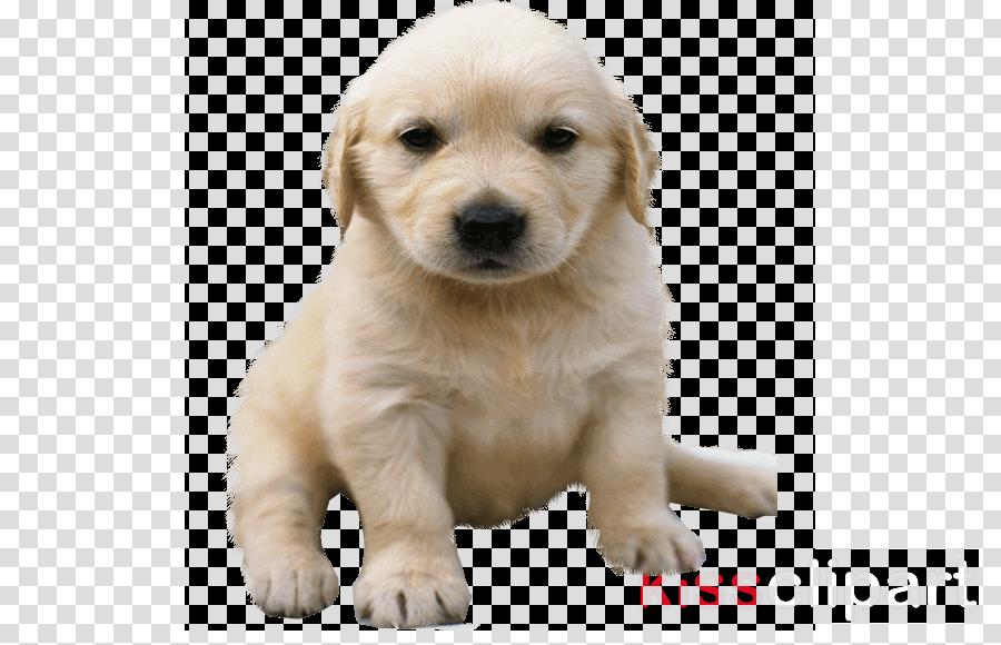 Golden Retriever Labrador Retriever Puppy American Pit Bull Terrier German Shepherd
