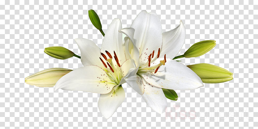 Easter lily Clip art Portable Network Graphics Stock photography Transparency