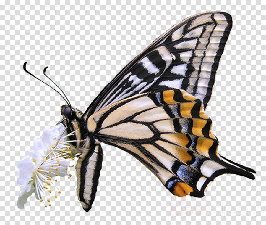 Monarch butterfly Insect Photography Scarce swallowtail
