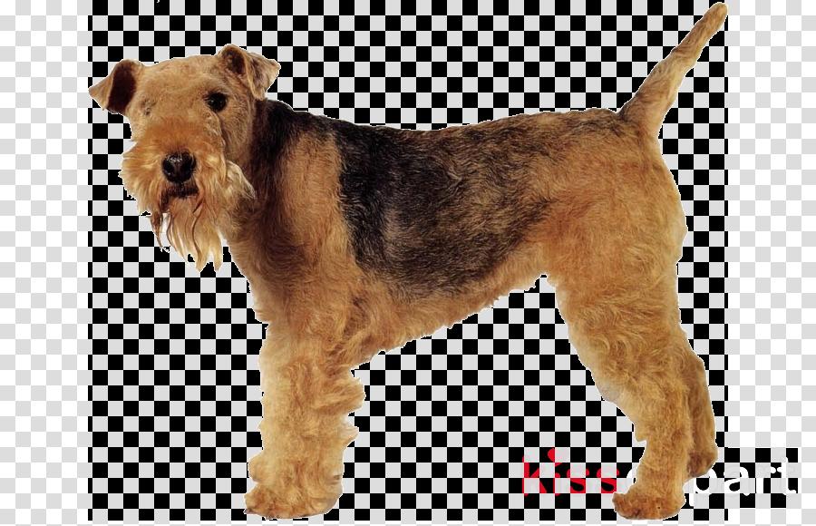Lakeland Terrier Irish Terrier Welsh Terrier Parson Russell Terrier