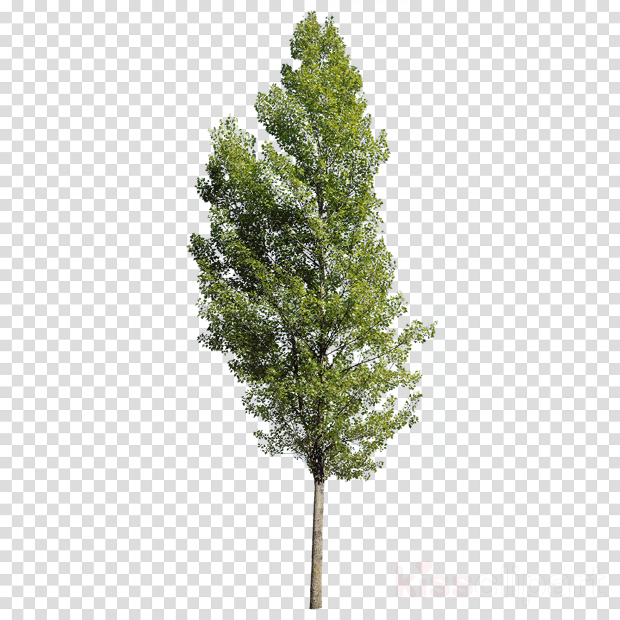 Populus nigra Fir Tree Plants Spruce