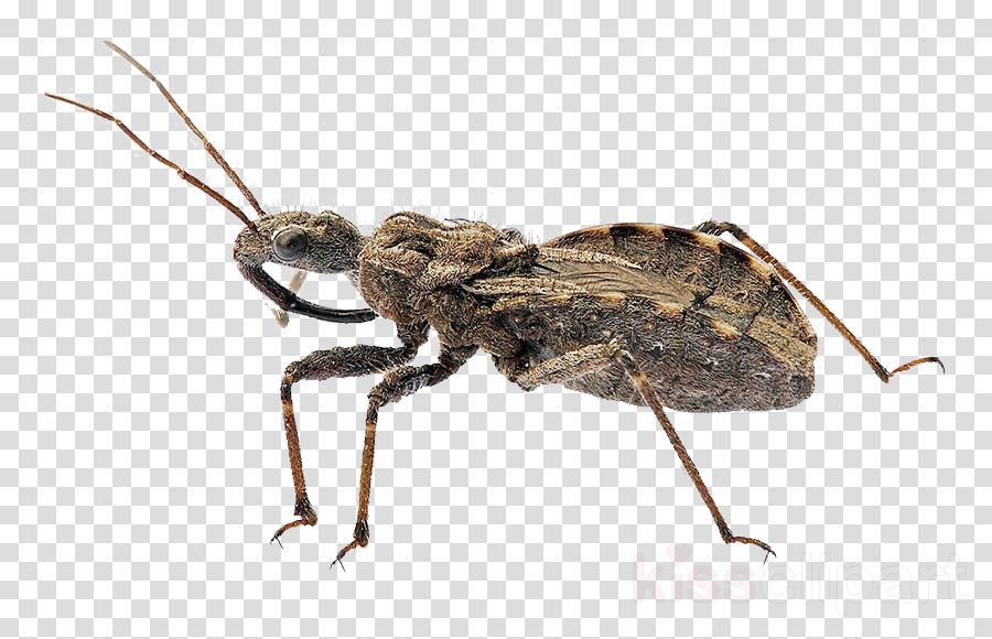 Insect Kissing bugs True bugs Bee Triatoma dimidiata