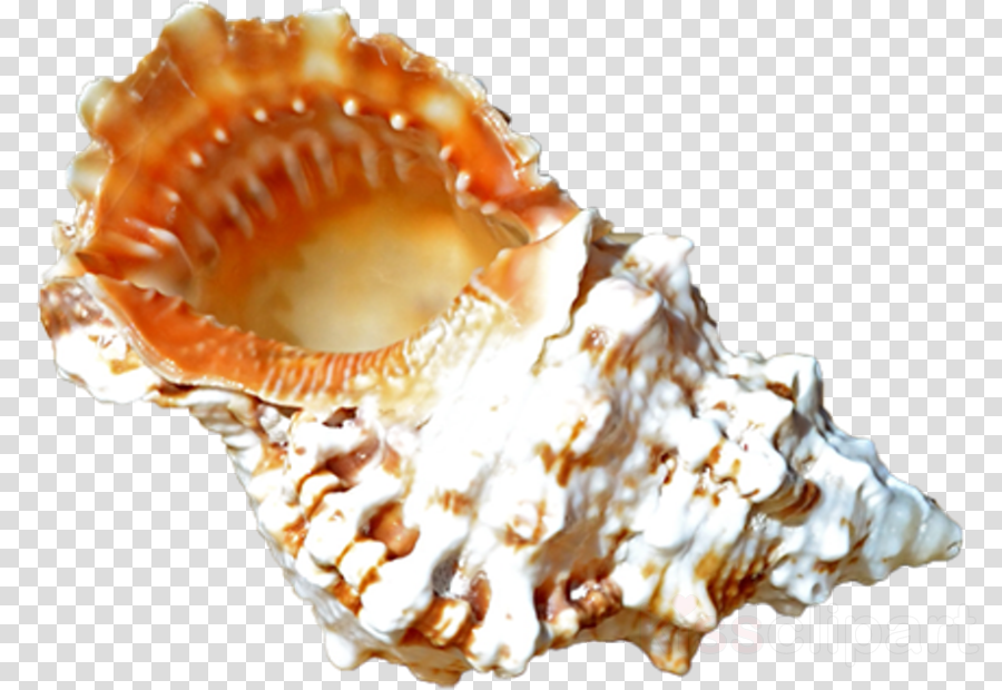 Seashell Cockle Clam Sea snail Conchology