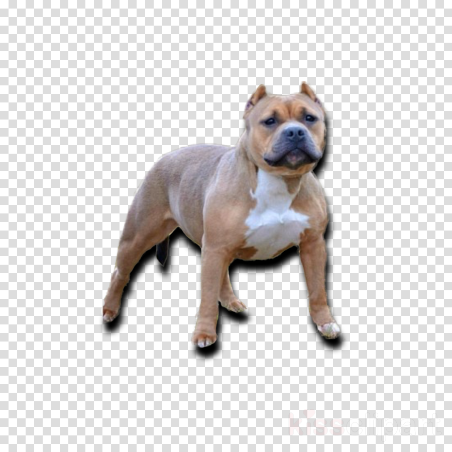 American Pit Bull Terrier Olde English Bulldogge Toy Bulldog Old English Bulldog
