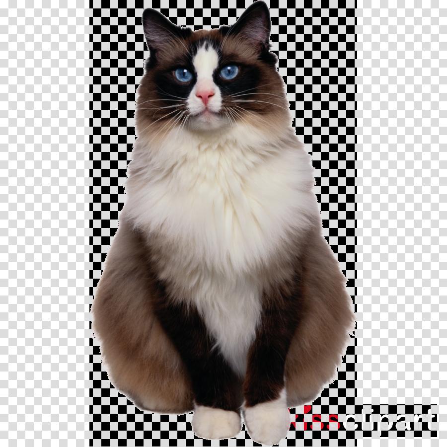 Ragdoll Snowshoe cat Kitten Siamese cat Breed