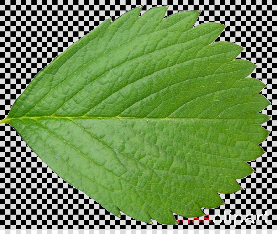 Leaf Tree Plants Branch Oak