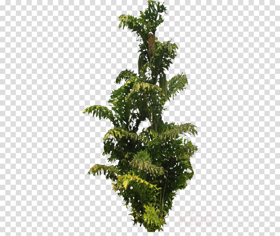 Fir Palm trees English Yew Leaf