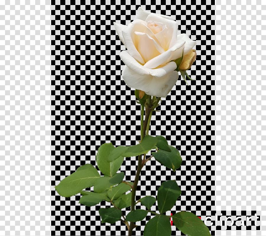 Garden roses Cabbage rose Floribunda China rose Cut flowers