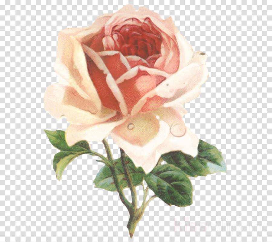 Garden roses Clip art Openclipart Cabbage rose Free content