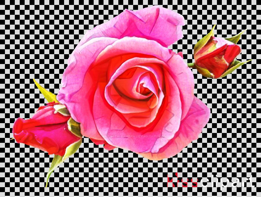 Garden roses Pink Cabbage rose Floribunda Floral design