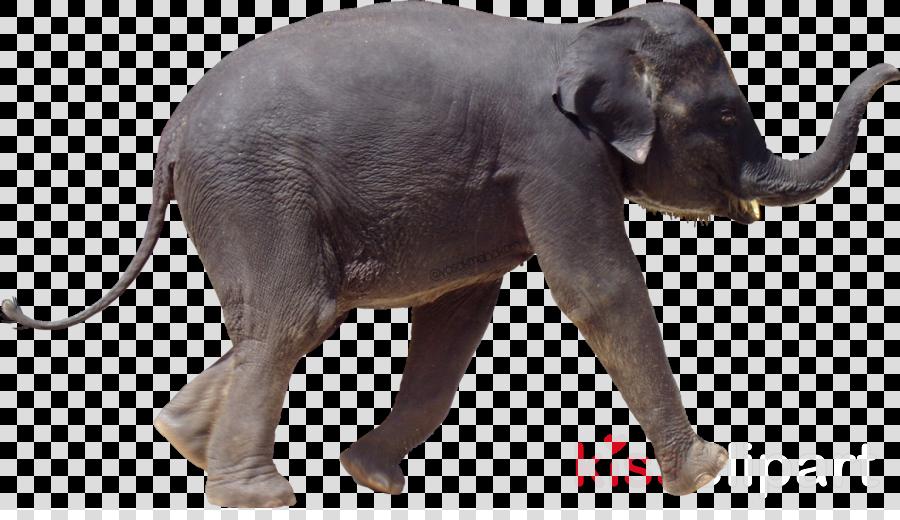 Indian Elephant African Elephant Tusk Transparent Png