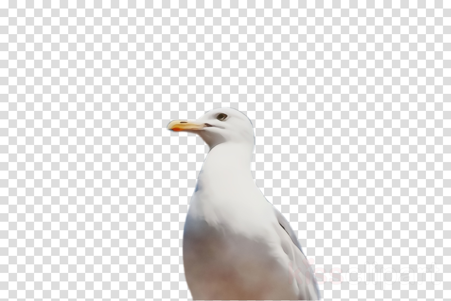 bird beak european herring gull gull seabird