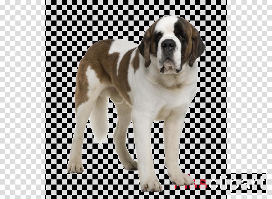 dog dog breed st. bernard giant dog breed ancient dog breeds