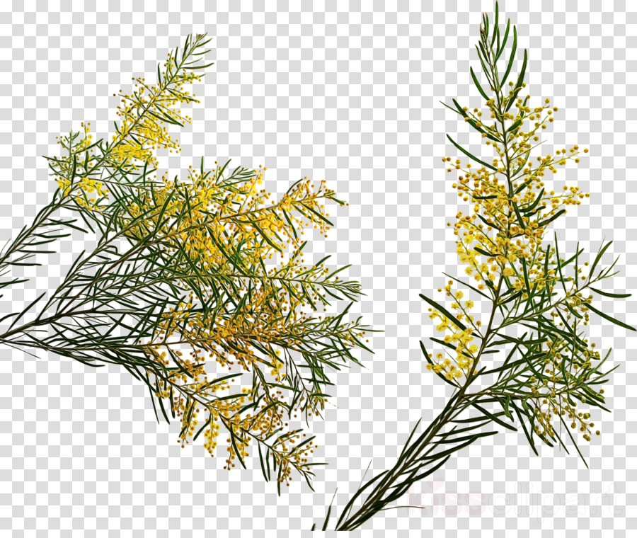 yellow fir white pine jack pine lodgepole pine plant