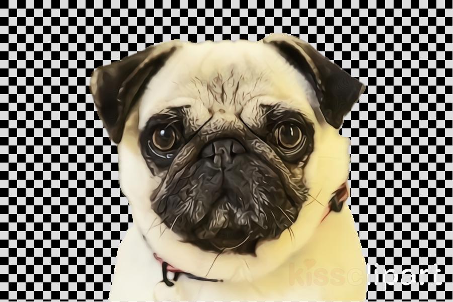 pug dog dog breed snout companion dog