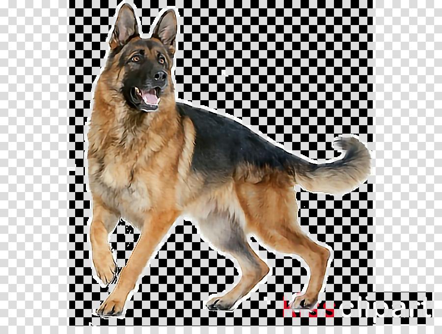 dog dog breed german shepherd dog old german shepherd dog king shepherd