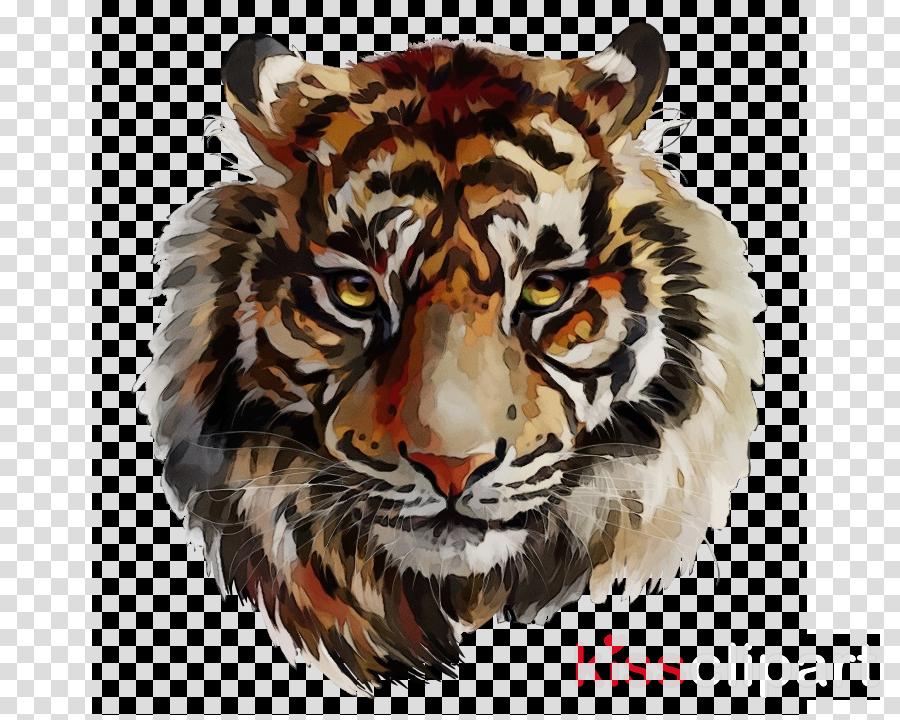 tiger bengal tiger wildlife head siberian tiger
