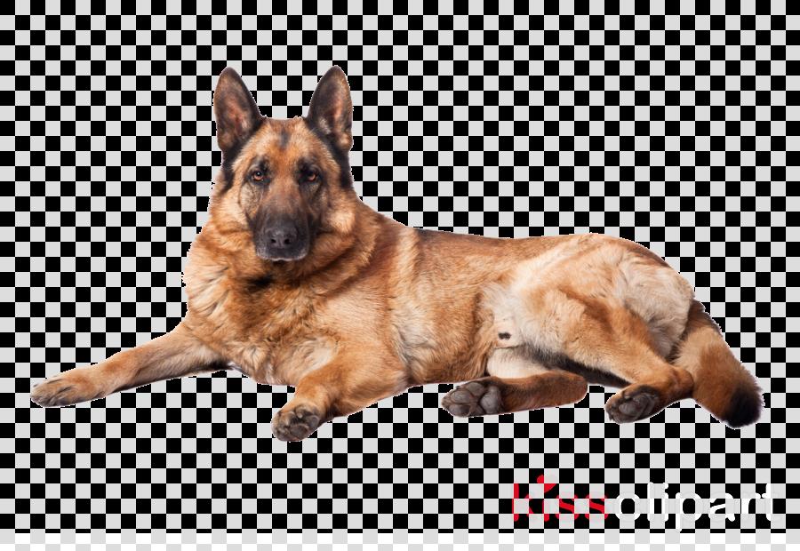dog dog breed german shepherd dog old german shepherd dog belgian shepherd malinois