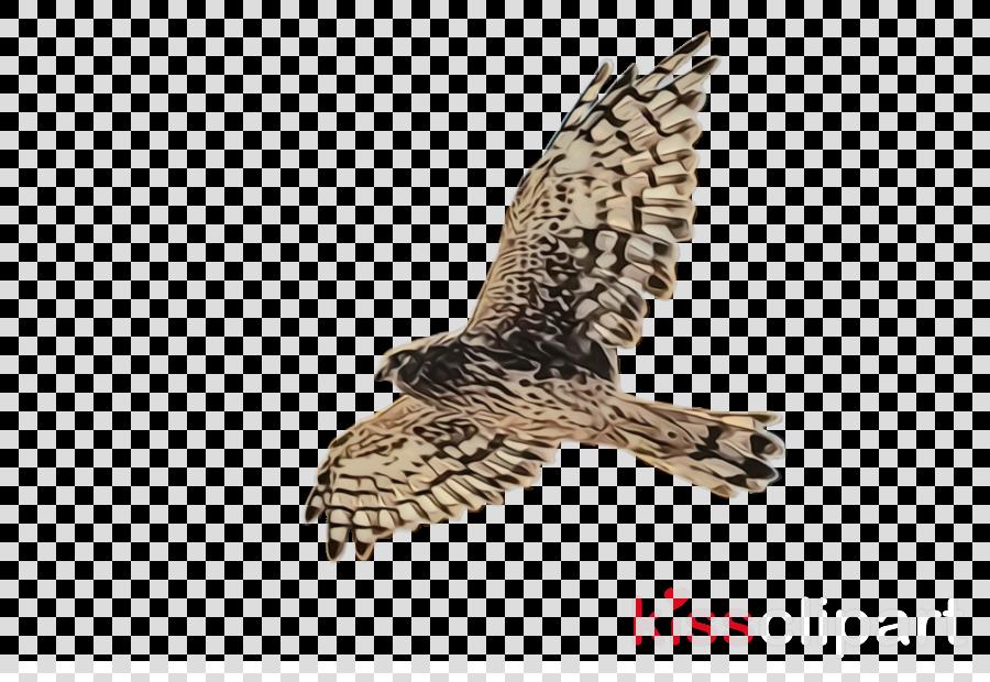 bird bird of prey northern harrier hawk peregrine falcon