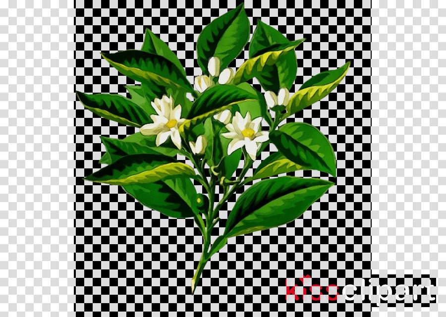 flower flowering plant plant leaf mock orange