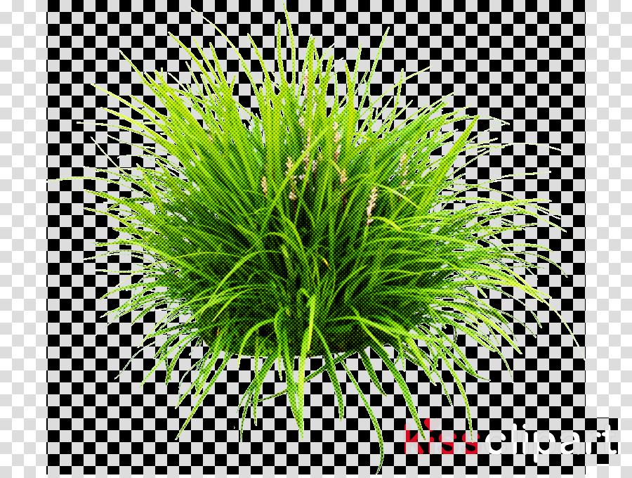 grass plant grass family terrestrial plant wheatgrass