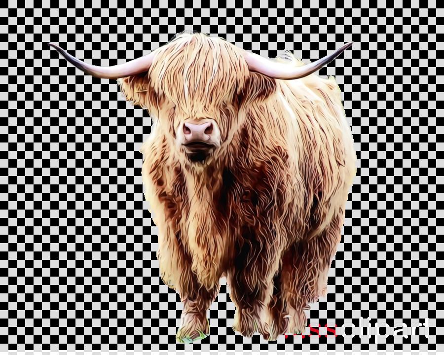 horn bovine bull yak livestock