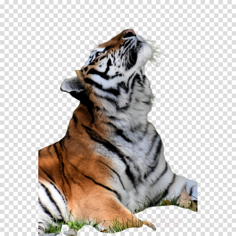 tiger bengal tiger siberian tiger wildlife terrestrial animal