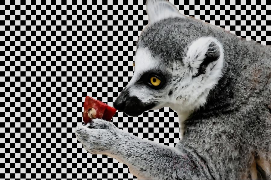 lemur procyonidae terrestrial animal snout eating