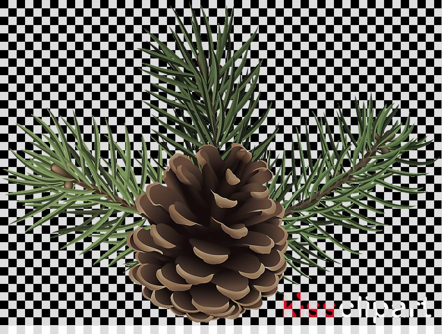 shortleaf black spruce sugar pine columbian spruce balsam fir jack pine