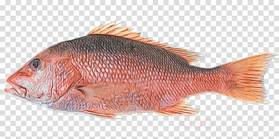 fish snapper red snapper fish fish products
