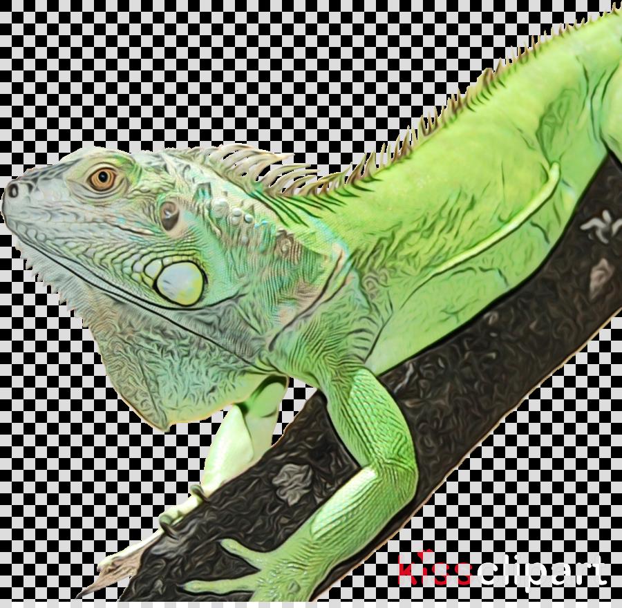 iguana reptile iguania lizard iguanidae