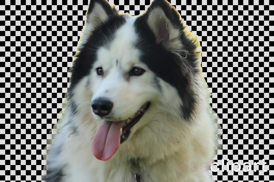dog siberian husky dog breed alaskan malamute canadian eskimo dog