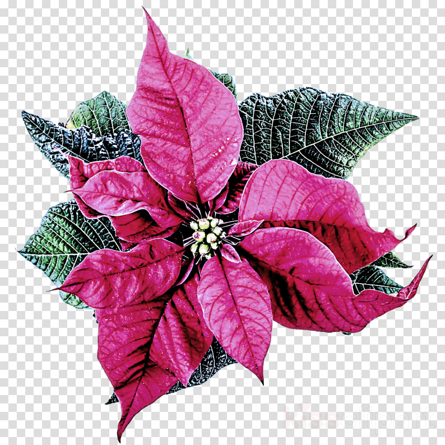 flower leaf plant pink poinsettia