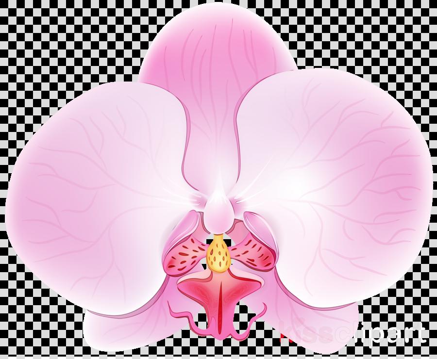 pink petal flower moth orchid plant