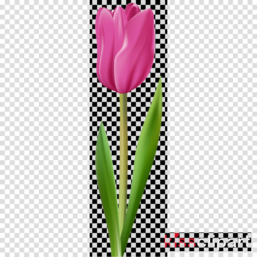 tulip flower petal plant plant stem