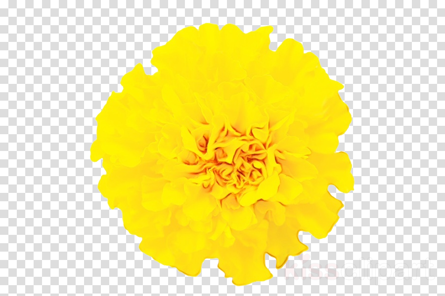 Yellow Flower Tagetes Plant Cut Flowers Clipart Yellow Flower
