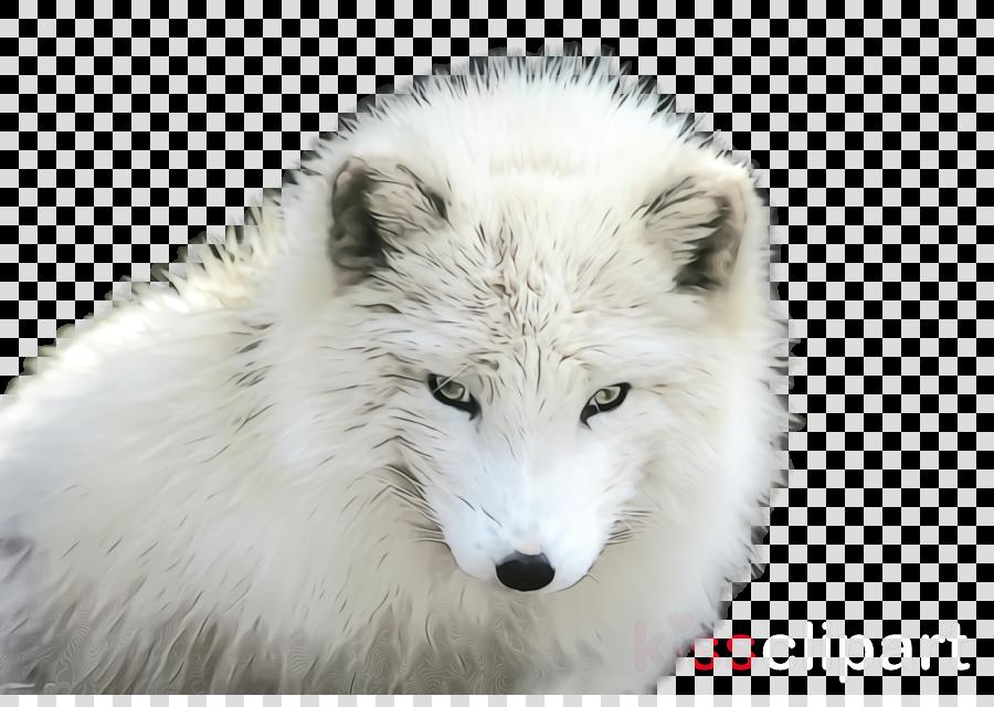 arctic fox white canis lupus tundrarum fox head