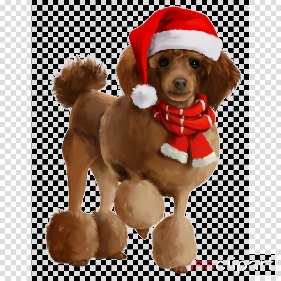 dog dog breed dog clothes companion dog toy poodle