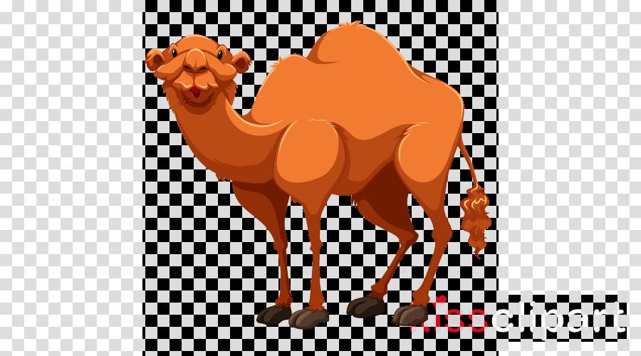 camel camelid arabian camel bactrian camel clip art