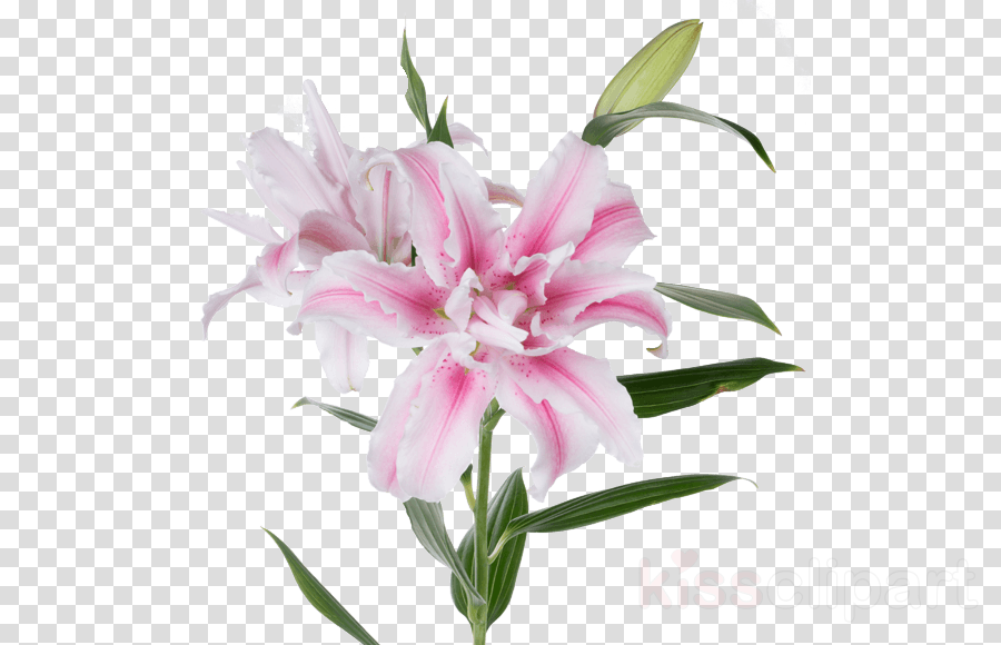 flower flowering plant plant pink lily