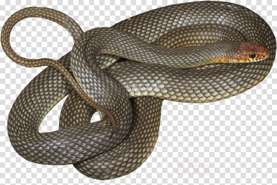 snake reptile scaled reptile serpent colubridae
